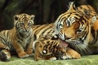 Открытый зоопарк в Паттайе тигры